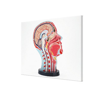 Head Section Model Canvas Print