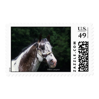 Headshot 2 del caballo del Appaloosa Franqueo