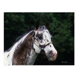 Headshot 2 del caballo del Appaloosa Tarjetas Postales