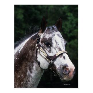 Headshot 2 del caballo del Appaloosa Tarjeta Postal