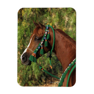 Headshot árabe del caballo con el freno iman flexible