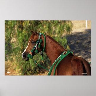 Headshot árabe del caballo con el freno posters