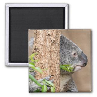 Headshot de la koala imán cuadrado