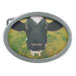 Headshot de la vaca frisia hebillas de cinturón