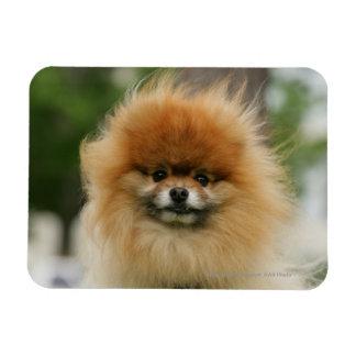 Headshot de Pomeranian que mira la cámara Imán