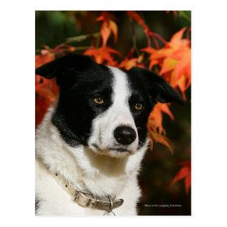 Headshot del otoño del border collie postal