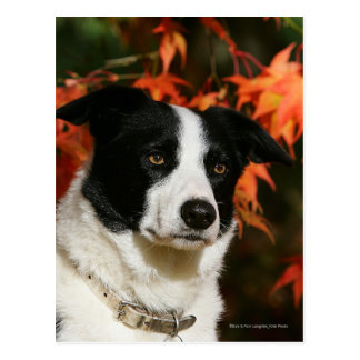 Headshot del otoño del border collie postales