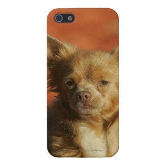 Headshot del perrito de la chihuahua iPhone 5 funda