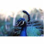 Headshot masculino del pavo real dado vuelta a la  esculturas fotográficas