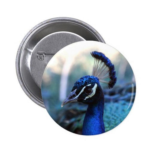 Headshot masculino del pavo real dado vuelta a la  pins
