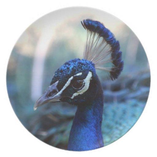 Headshot masculino del pavo real dado vuelta a la  platos