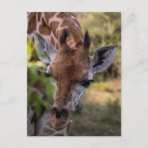 Headshot of a Giraffe Postcard