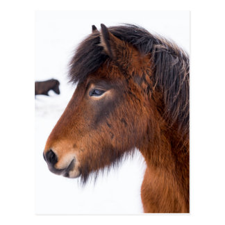 Headshot of Brown Icelandic Horse Postcard
