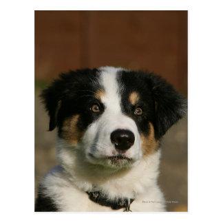 Headshot viejo del perrito del border collie de 12 postal