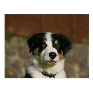 Headshot viejo del perrito del border collie de 12 tarjetas postales