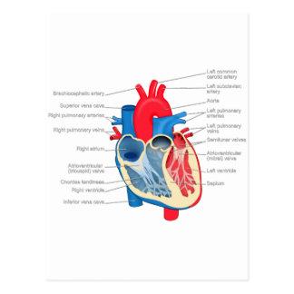 Heart_Anatomy Postal