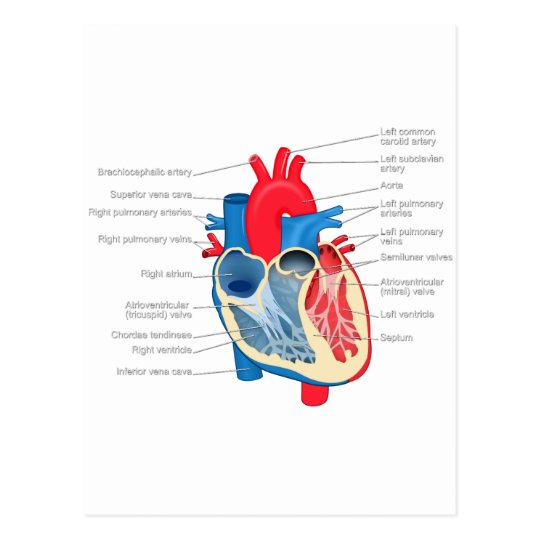 Heart_Anatomy Postcard