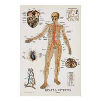 Heart and Arteries Human Anatomy Poster 24 X 36