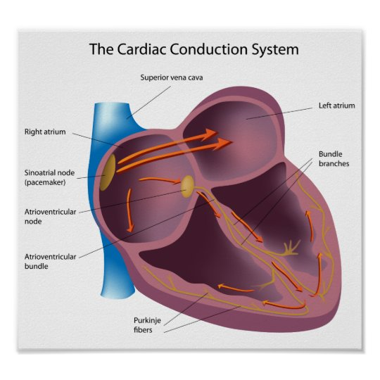 Heart Conduction System Poster Zazzle