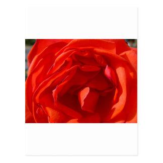heart-of-a-rose postcard