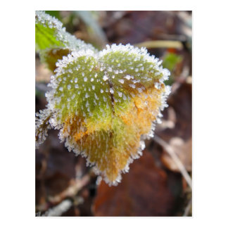 Heartshaped leaf with frost postcard