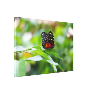 Hecale Longwing Butterfly Canvas Wrap Canvas Print