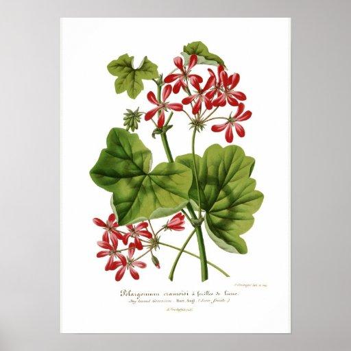 Hederaefolium del Pelargonium Poster