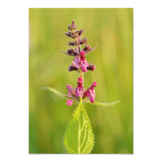 Hedge Woundwort Stachys Sylvatica Personalized Announcements