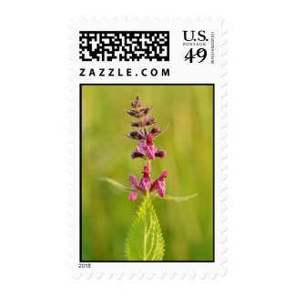 Hedge Woundwort Stachys Sylvatica Postage