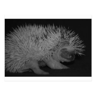 Hedgehog Baby in Black and White Postcard