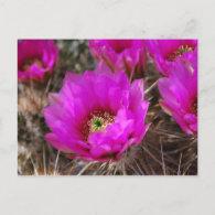 Hedgehog Cactus Postcard