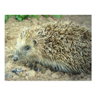 Hedgehog Care  Postcard