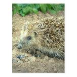 Hedgehog Care  Postcards