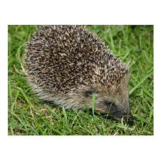 Hedgehog Close-up Postcard