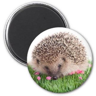hedgehog, iman