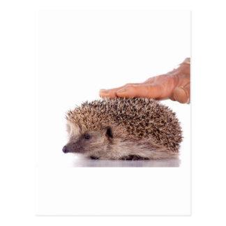 Hedgehog, Post Card