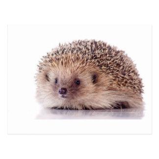 Hedgehog, Postcard