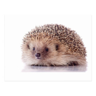 Hedgehog, Tarjeta Postal