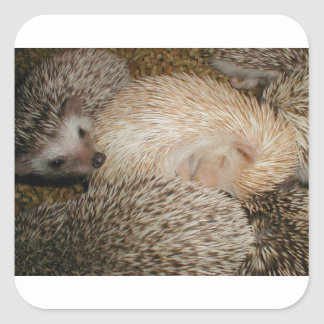 Hedgehogs, is everyone comfortable? square sticker