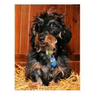Hefner - Dachshund - Photo-7 Postcard