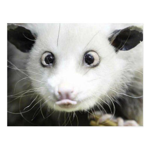Heidi The Cross Eyed Opossum Postcard