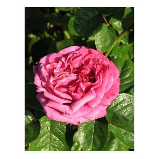 Heirloom Hybrid Tea Rose 027 Postcard
