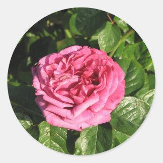 Heirloom Hybrid Tea Rose 027 Round Stickers
