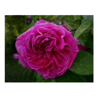 Heirloom Rose Post Cards