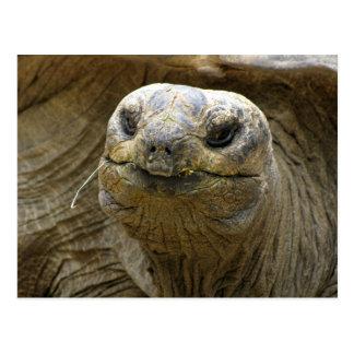 Helaine's Aldabra Tortoise Postcard
