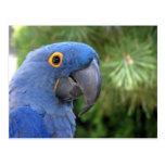Helaine's Blue Parrot Postcard