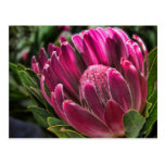 Helaine's Proteas Flower Postcards