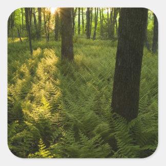 Helechos en el bosque en Grafton, Massachusetts Pegatina Cuadrada