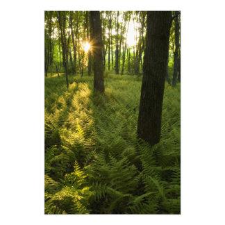 Helechos en el bosque en Grafton, Massachusetts Impresion Fotografica