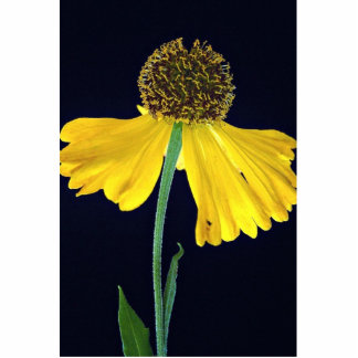 Helenium, Bressingham's Gold Acrylic Cut Out